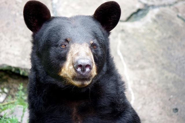 hledící medvěd