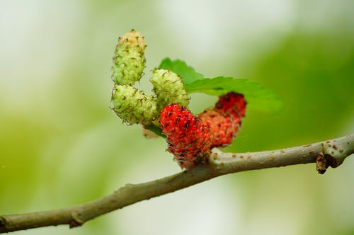 mulberries-red-fruit-berry-64282